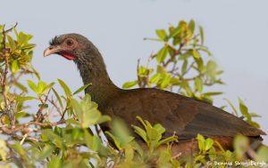8117 Chaco Chachalaca (Ortalis canicollis), Pantanal, Brazil