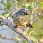 8118 Buff-throated Saltator (Saltator maximus), Pantanal, Brazil