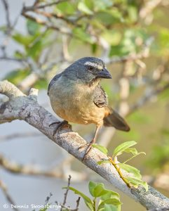 8118 Buff-throated Saltator (Saltator maximus), Pantanal, Brazil