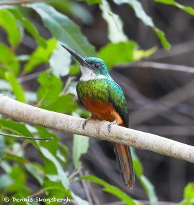 8119 Rufous-tailed Jacamar (Galbula ruficauda), Pantanal, Brazil