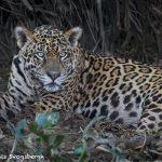 8120 Jaguar (Panthera onca), Pantanal, Brazil