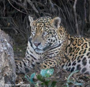 8121 Jaguar (Panthera onca), Pantanal, Brazil