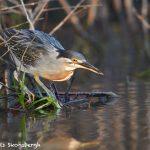 8122 Striated Heron (Butorides stratus), Pantanal, Brazil