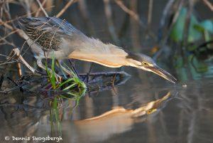 8123 Striated Heron (Butorides stratus), Pantanal, Brazil
