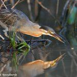 8124 Striated Heron (Butorides stratus), Pantanal, Brazil