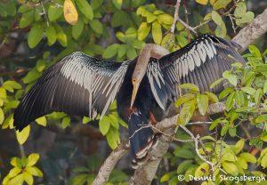 8169 Anhinga (Anhinga anhinga), Pantanal, Brazil