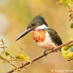 8171 Male Amazon Kingfisher (Chloroceryle amazona), Pantanal, Brazil