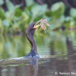 8172 Neotropic cormorant (Phalacrocorax brasiliansus), Pantanal, Brazil