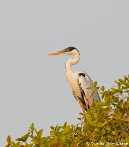 8174 Cocoi Heron (Ardea cocoi), Pantanal, Brazil