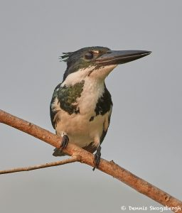 8173 Female Amazon Kingfisher (Chloroceryle amazona), Pantanal, Brazil