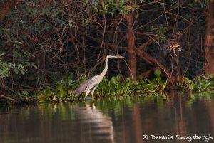 8176 Cocoi Heron (Ardea cocoi), Pantanal, Brazil