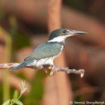 8177 Female Amazon Kingfisher (Chloroceryle amazona), Pantanal, Brazil