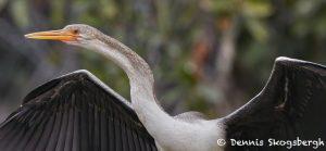 8179 Anhinga (Anhinga anhinga), Pantanal, Brazil