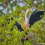 8182 Anhinga (Anhinga anhinga), Pantanal, Brazil