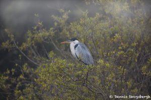 8185 Cocoi Heron (Ardea cocoi), Pantanal, Brazil