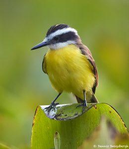 8187 Great Kiskadee (Pitangus sulphuratus), Pantanal, Brazil
