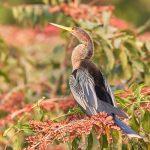 8192 Anhinga (Anhinga anhinga), Pantanal, Brazil