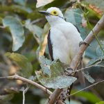 8193 White Woodpec ker (Leuconerpes candies), Pantanal, Brazil