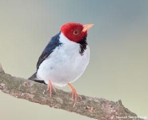 8194 Yellow-billed Cardinal (Paroana capitata), Pantanal, Brazil