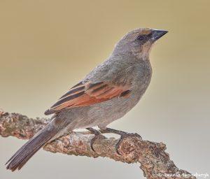 8195 Baywing (Agelaioides badius), Pantanal, Brazil