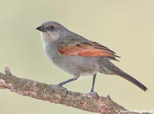 8198 Baywing (Agelaioides badius), Pantanal, Brazil
