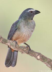 8199 Buff-throated Saltator (Saltator maximus), Pantanal, Brazil