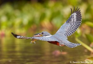 8203 Ringed Kingfisher (Megaceryle torquata), Pantanal, Brazil