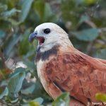 8204 Black-collard Hawk (Busarellus nignicollis), Pantanal, Brazil