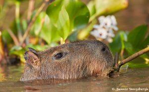 8206 Capybara (Hydrochoerus hydrochaeris), Pantanal, Brazil