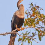 8207 Anhinga (Anhinga anhinga), Pantanal, Brazil