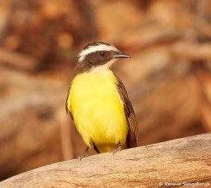 8208 Social Flycatcher (Myiozetetes similes), Pantanal, Brazil