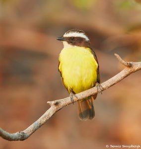 8209 Social Flycatcher (Myiozetetes similes), Pantanal, Brazil