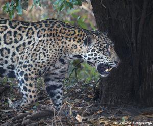 8211 Jaguar (Panthera onca), Pantanal, Brazil