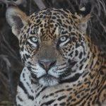 8213 Jaguar (Panthera onca), Pantanal, Brazil