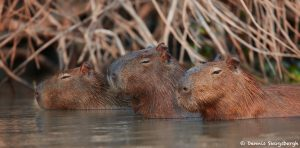 8335 Capybara (Hydrochoerus hydrochaeris), Pantanal, Brazil