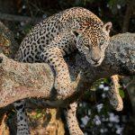 8337 Jaguar (Panthera onca), Pantanal, Brazil