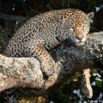 8336 Jaguar (Panthera onca), Pantanal, Brazil