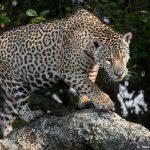 8338 Jaguar (Panthera onca), Pantanal, Brazil