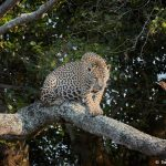 8340 Jaguar (Panthera onca), Pantanal, Brazil