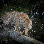 8339 Jaguar (Panthera onca), Pantanal, Brazil