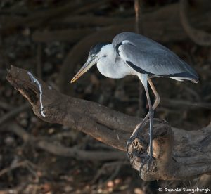 8214 Cocoi Heron (Ardea cocoi), Pantanal, Brazil