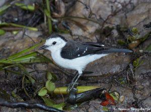 8216 Black-backed Water Tyrant (Fluvicola akbiventer), Pantanal, Brazil