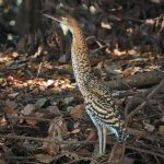 8217 Immature Rufescent Tiger Heron (Tigrisoma lineatum), Pantanal, Brazil