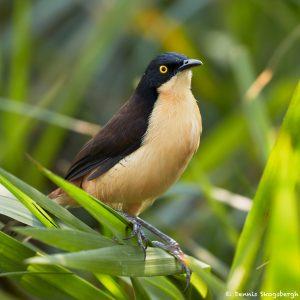 8218 Black-capped Donacobius (Donacobius atricapilla, Pantanal, Brazil
