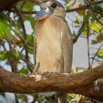 8219 Boat-billed Heron (Cochlearius cochlearius), Pantanal, Brazil