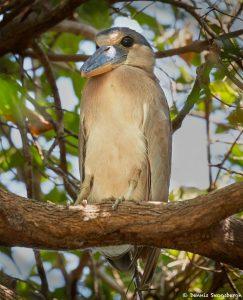 8219 Boat-billed Heron (Cochlearius cochlearius), Pantanal, Brazil