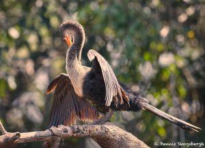 8220 Anhinga (Anhinga anhinga), Pantanal, Brazil