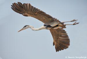8222 Cocoi Heron (Ardea cocoi), Pantanal, Brazil