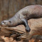 8224 Giant River Otter (Pteronura brasiliensis), Pantanal, Brazil