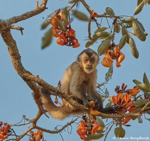 8226 Tufted Capuchin (Cebus apella), Pantanal, Brazil
